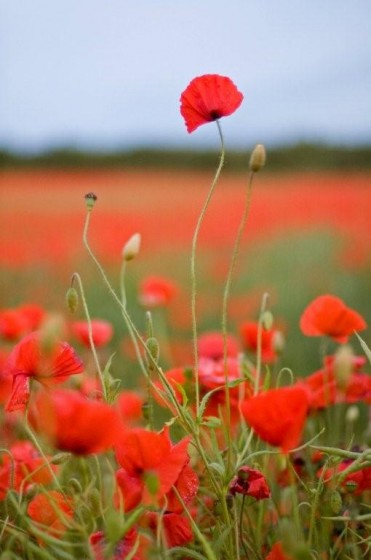 Tall poppies small